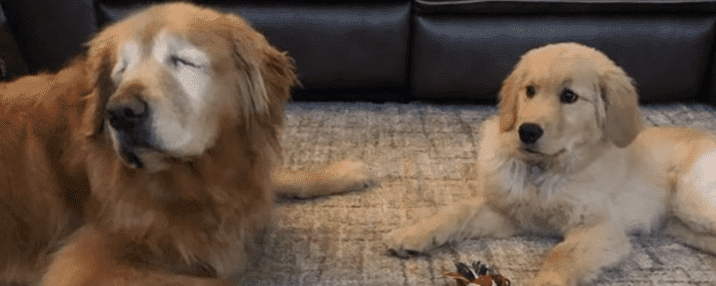 Blind 11-year-old old Golden Retriever Charlie and his new best friend Maverick who became his guide. | Source: YouTube/ABC News.
